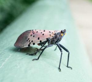Spotted Lanternfly NJ